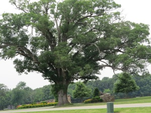 Beautiful huge old oak tree on 522. I have always admired it's ability to survive and look so good.